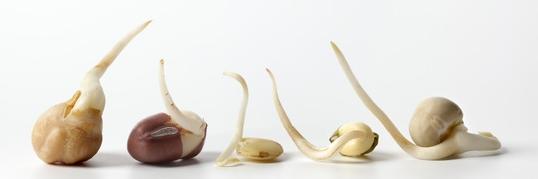 какие зерна проращивать и как это делать